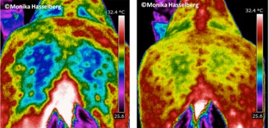 Thermal Images of before and after ENAR horses rump